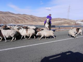 When drivers see livestock, they should: